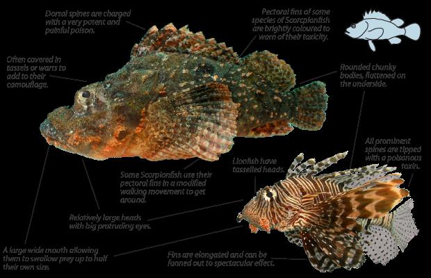 lionfish-scorpionfish